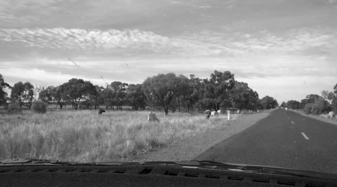 cows on roadside