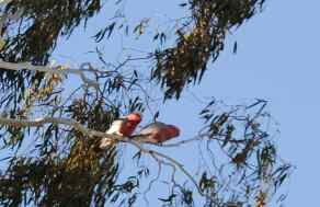 galahs arrived, waiting for seed