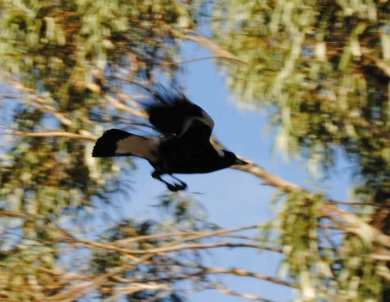 flying magpie