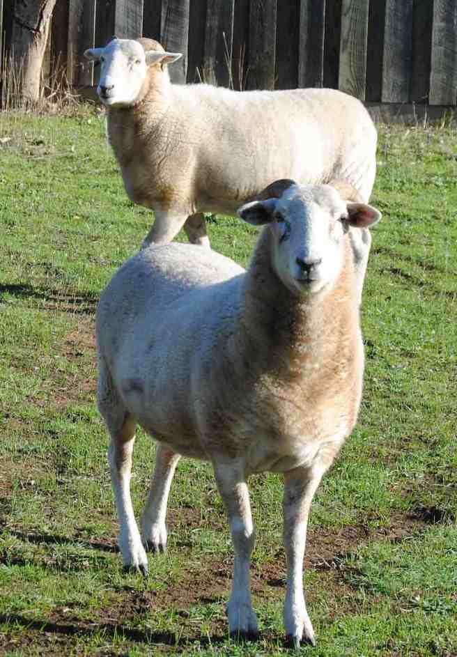 neighbours' sheep