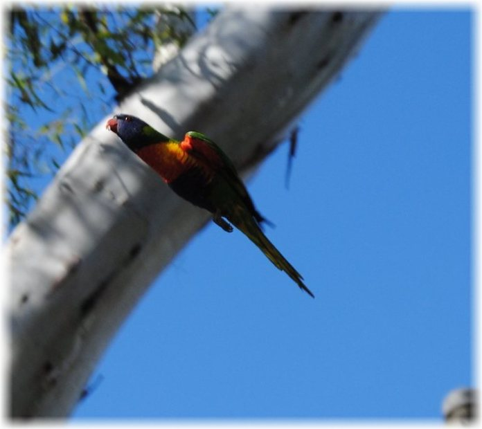 bl_may9niklorikeetfly