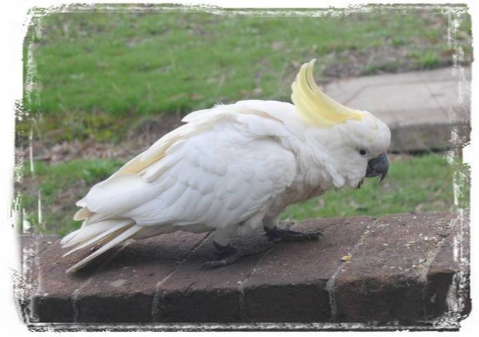 sulphur-crested cockatoo on fence