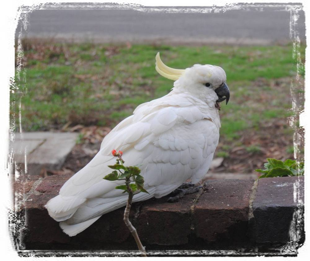 sulphur-crested cockatoo sitting on fence