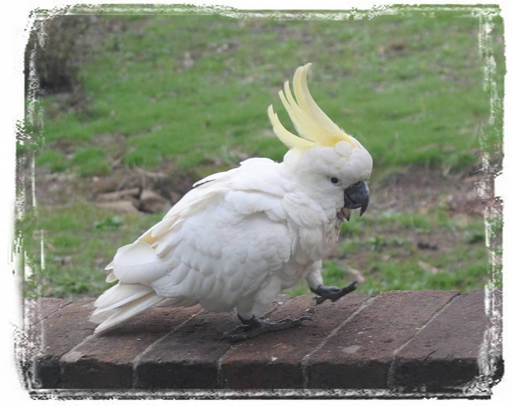 sulphur-crested cockatoo walking on fence