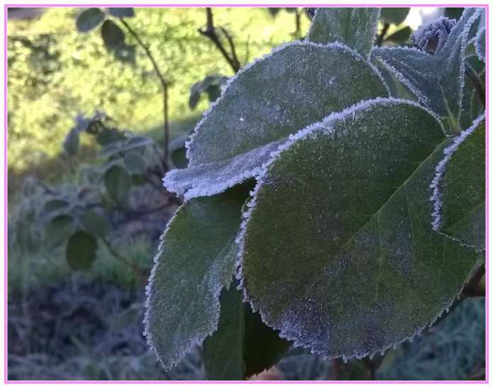 frosty rose leaves