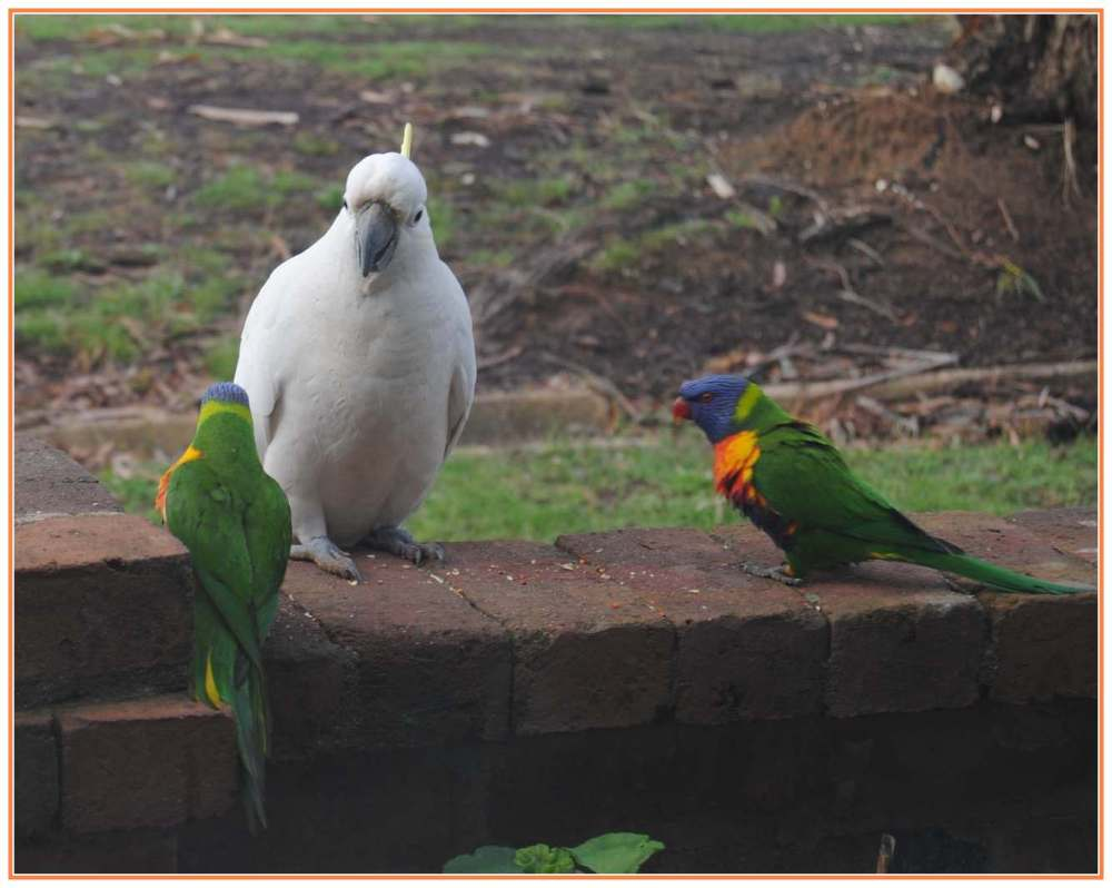 one cockatoo confronted by two lorikeets