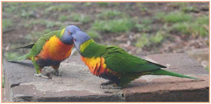pair rainbow lorikeets