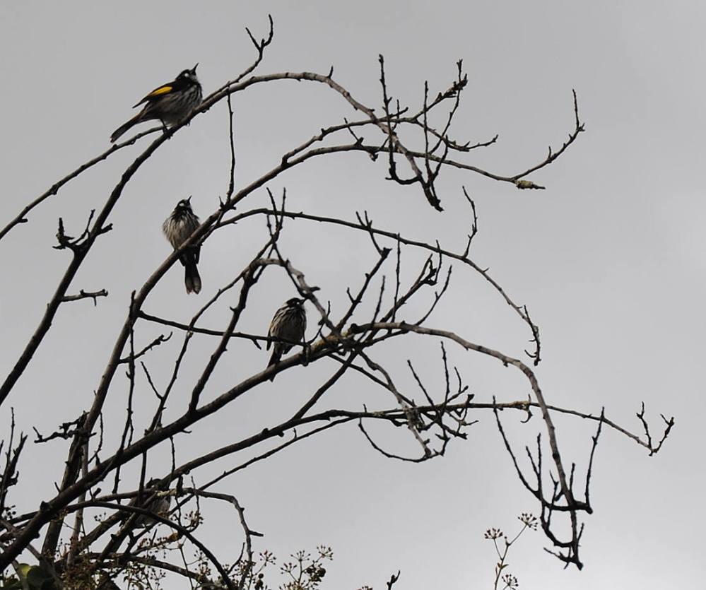 four new holland honeyeaters