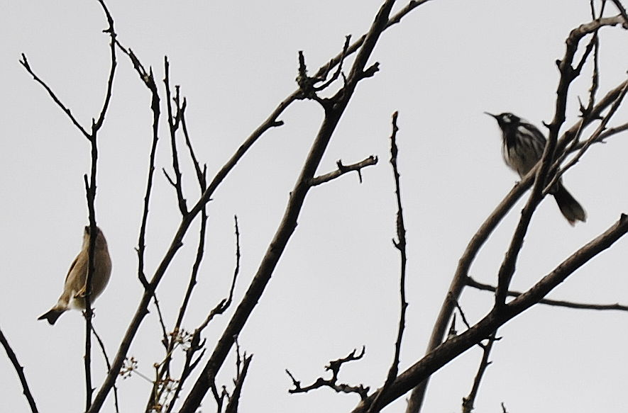 sparrow and honeyeater