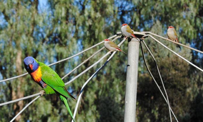 rainbow lorikeet & red-browed firetails on my clothesline