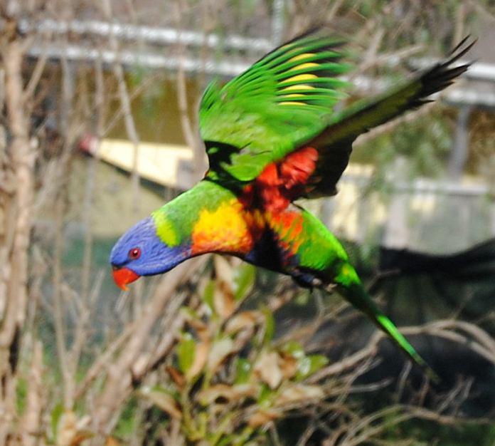 flying rainbow lorikeet