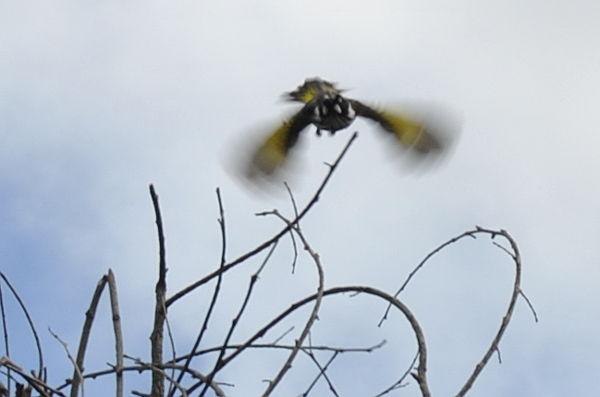 honeatfly
