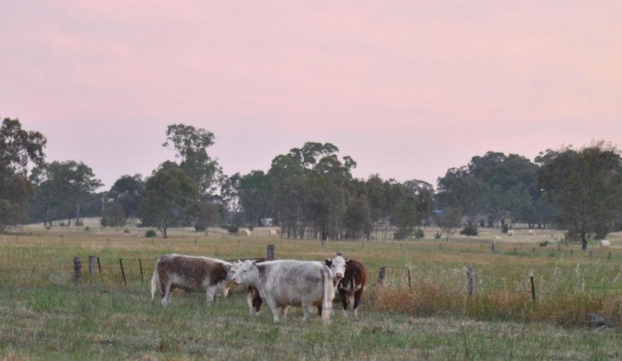 cowssunset