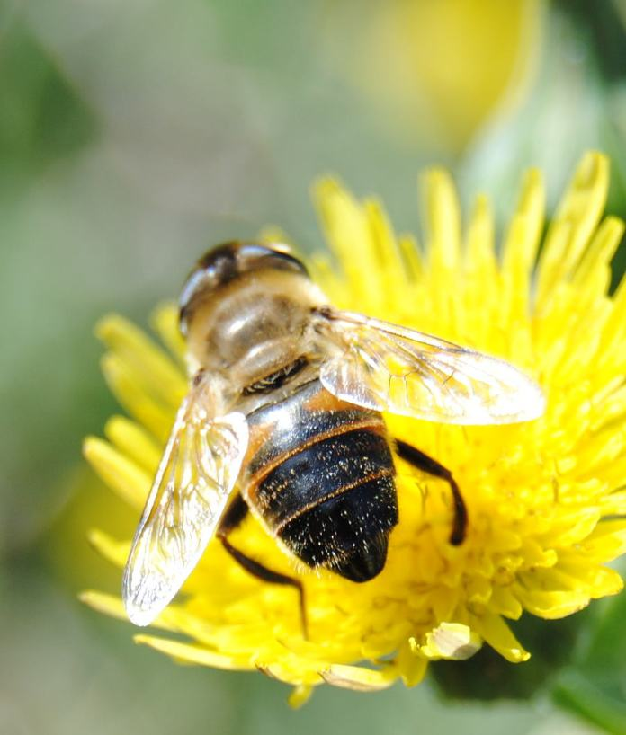 thistleflower5hoverfly