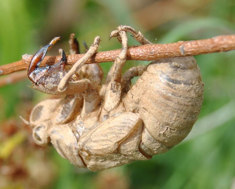 cicadahuskdsc_2192