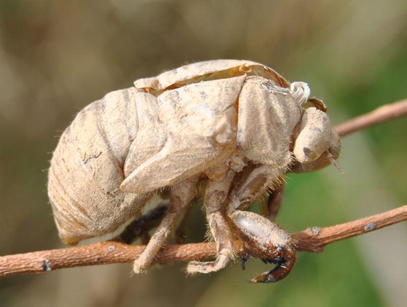 cicadahuskdsc_2194