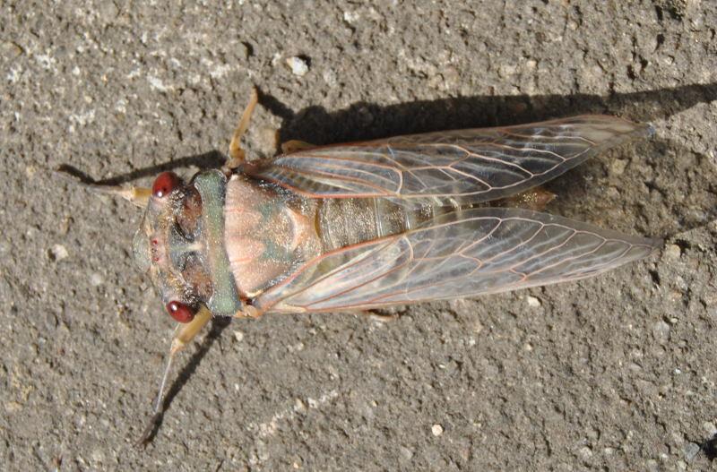 cicadapaledsc_2188