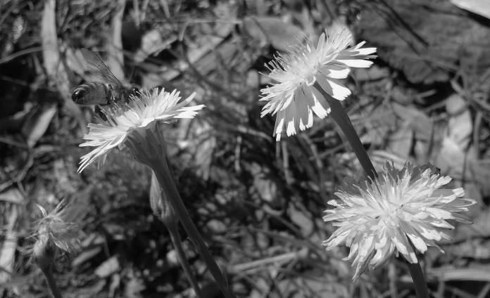 Bee on a weed (Nokia Lumia 520 WP) B&W