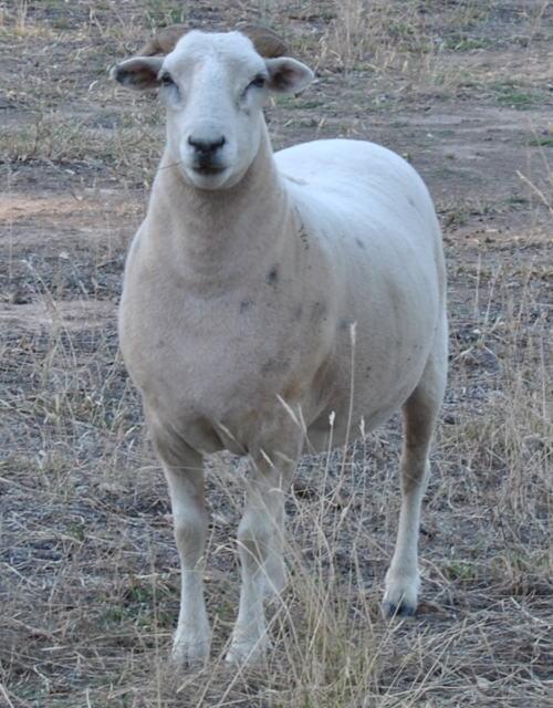 sheepdsc_2472