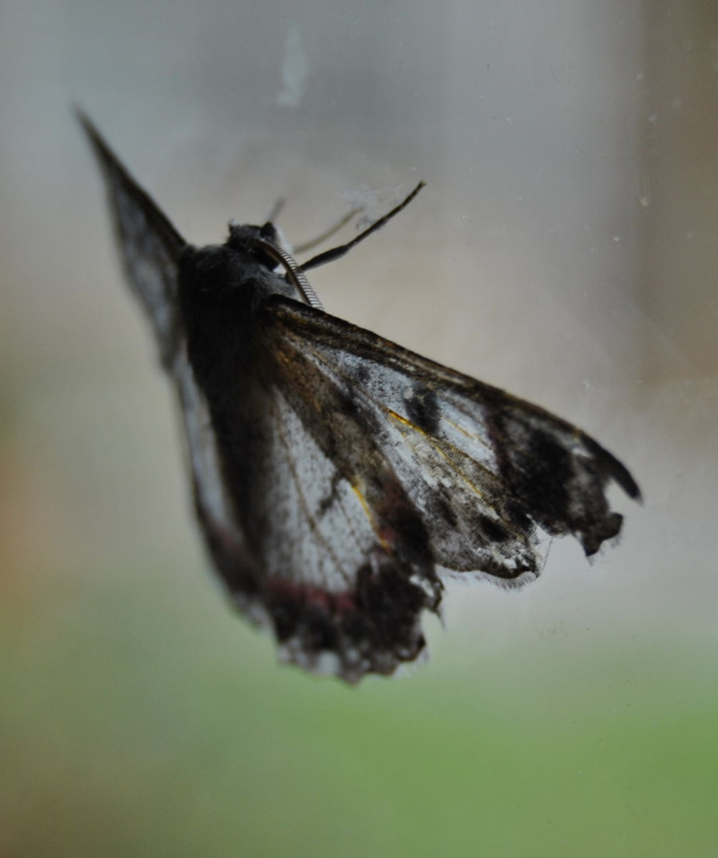 mothDSC_3705