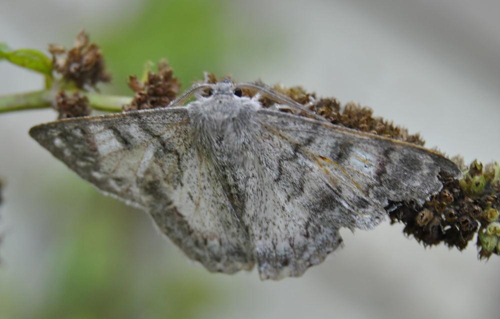 mothDSC_3722
