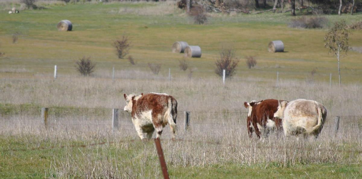 cowsrunning