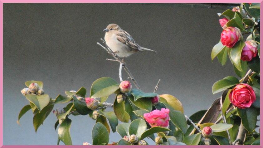 sparrowcamellia