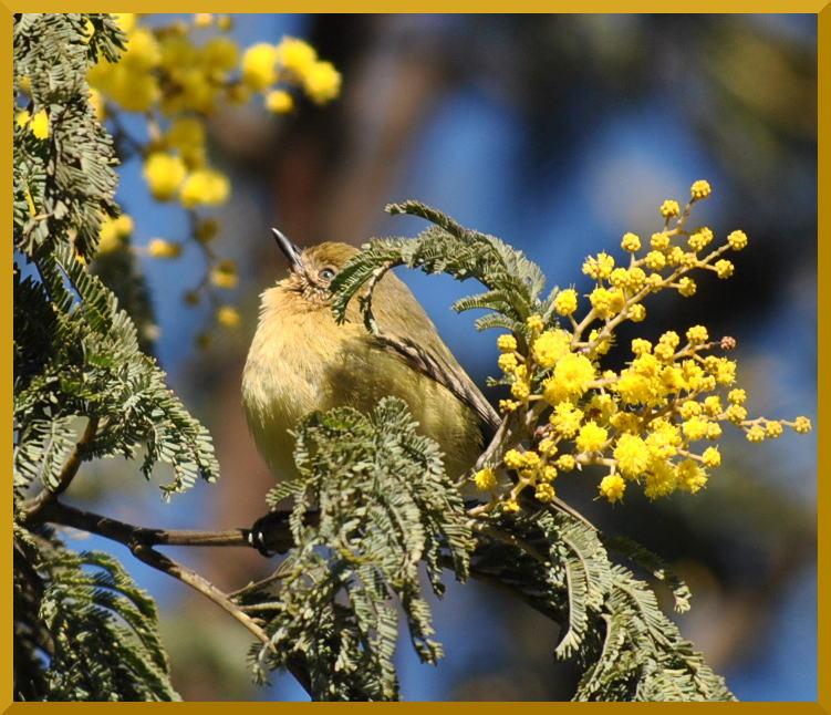 thornbill
