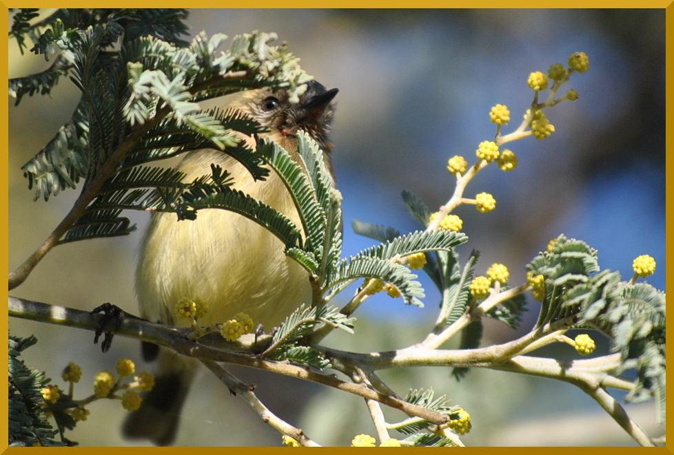 thornbill2