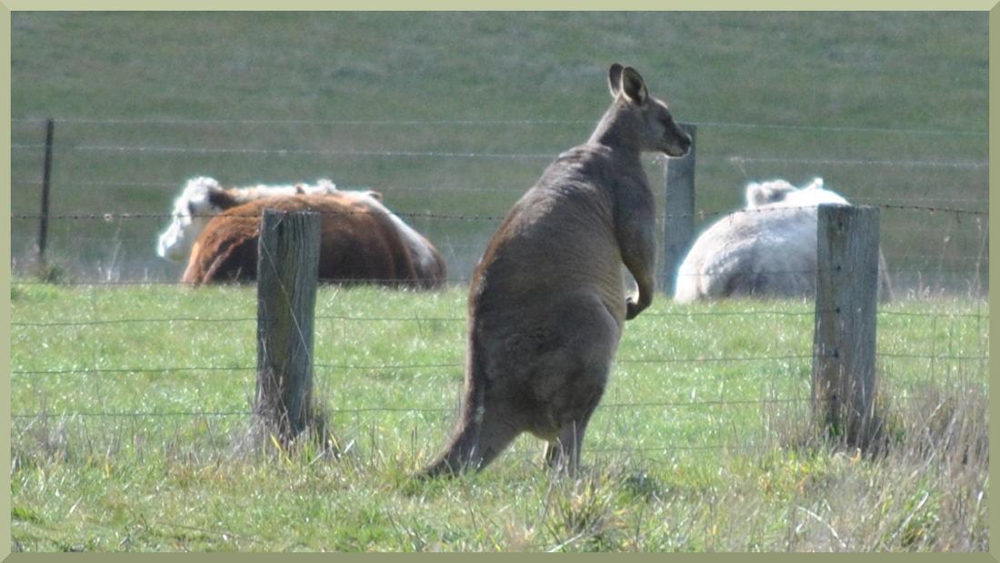 kangaroo6280