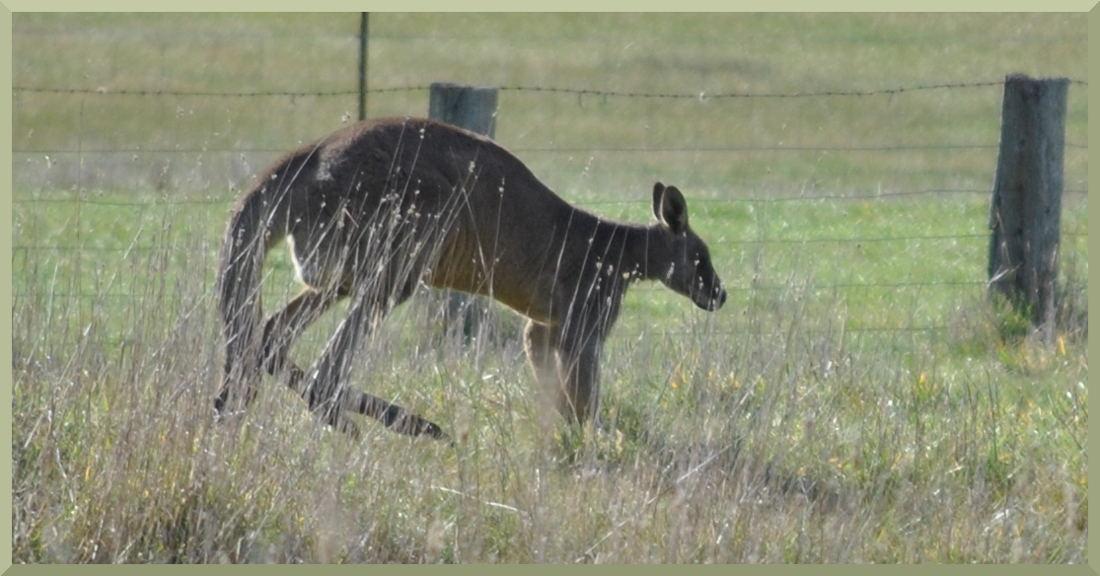kangaroo6281