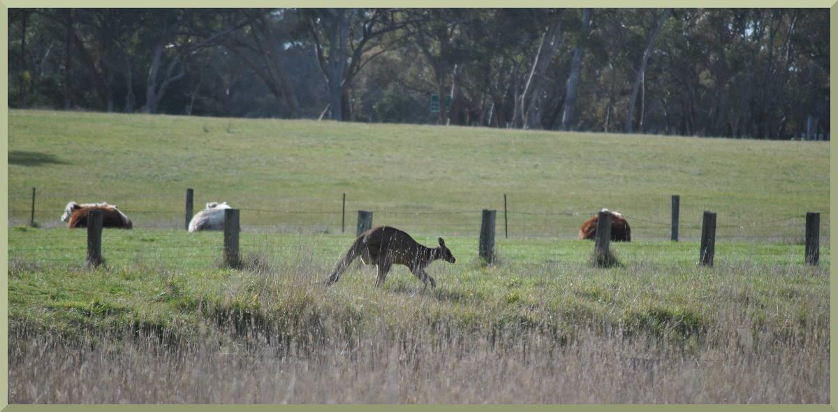 kangaroo6282