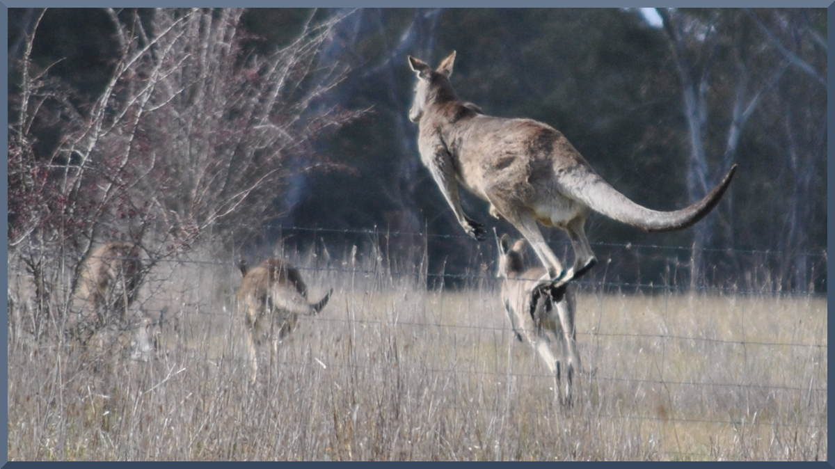 kangaroo, having just cleared the fence