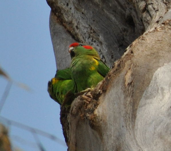 musklorikeetpair