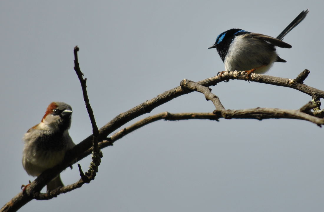 sparrowwren2