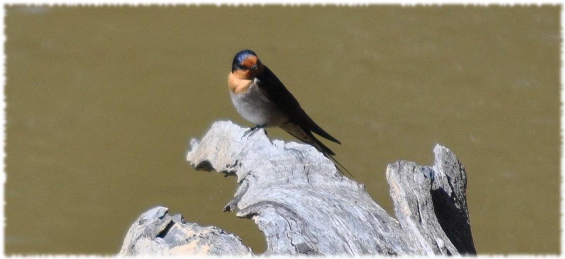swallow2