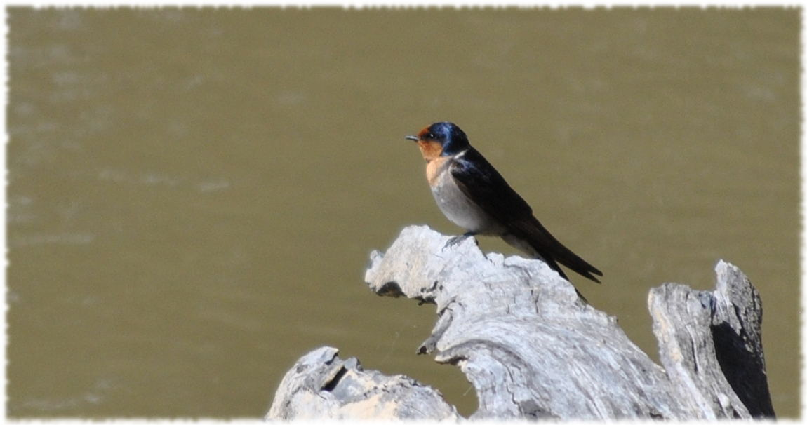 swallow3