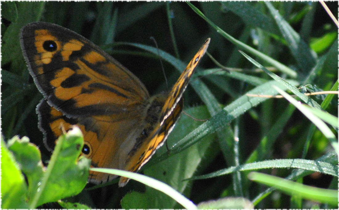 orangebluespotbutterfly