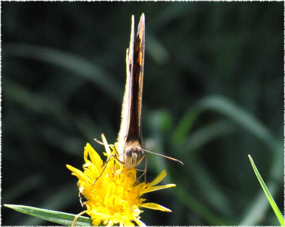 orangebluespotbutterfly2