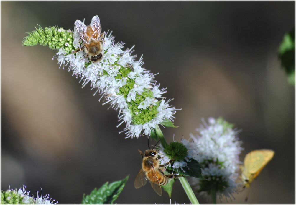 bees_mint