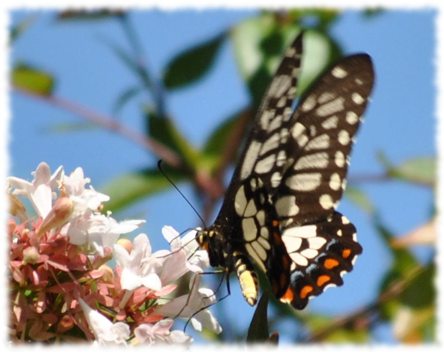 dingy_swallowtail2