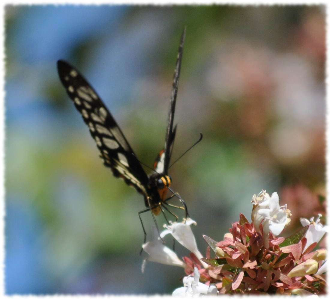 dingy_swallowtail3