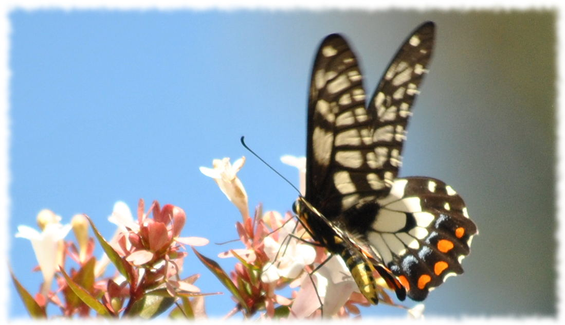 dingy_swallowtail4