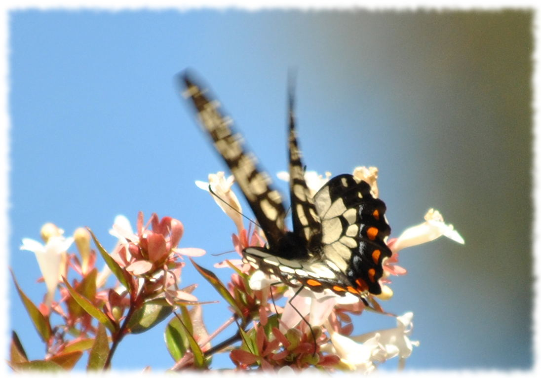 dingy_swallowtail5