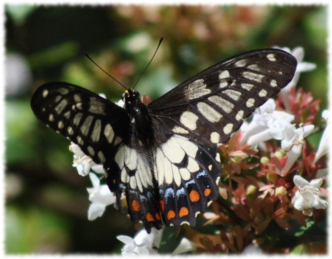 dingy_swallowtail6