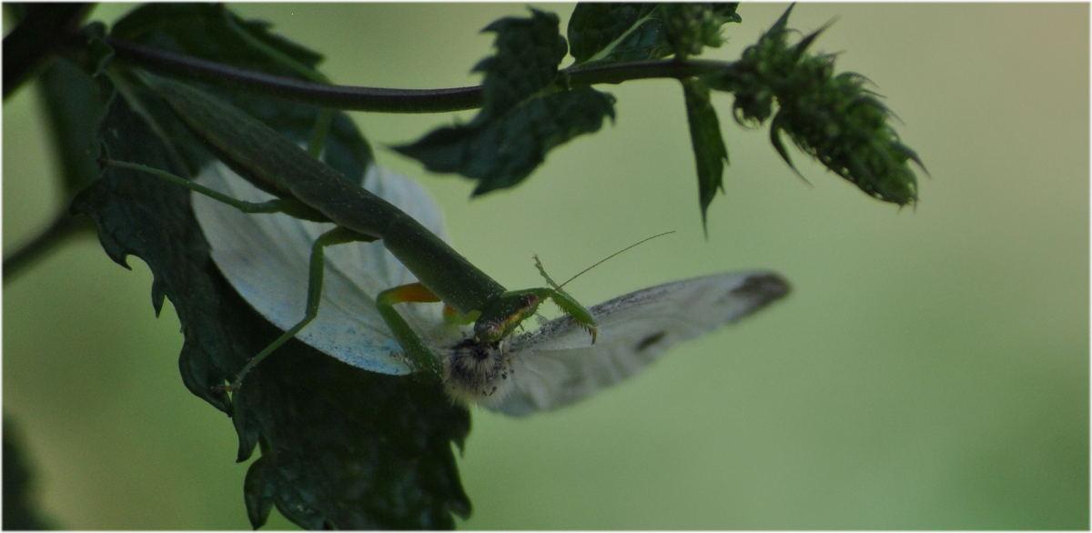 mantis_smallwhite