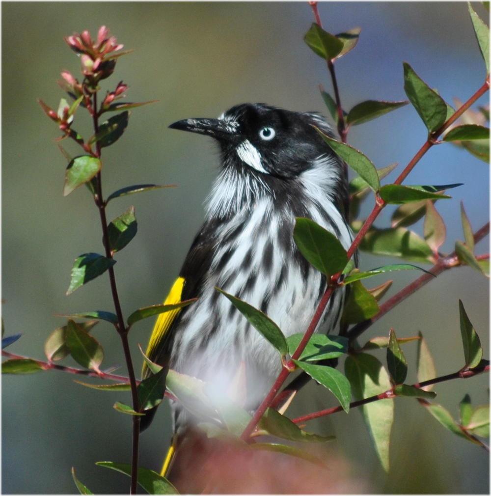 nh_honeyeater