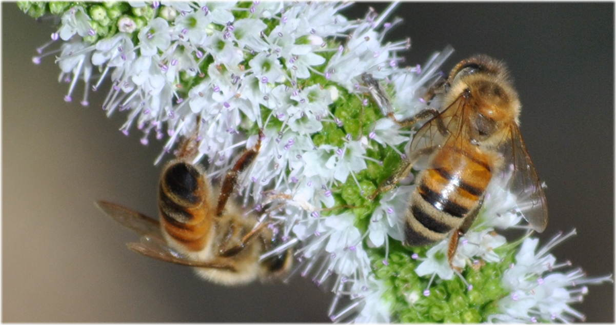 pair_bees_mint