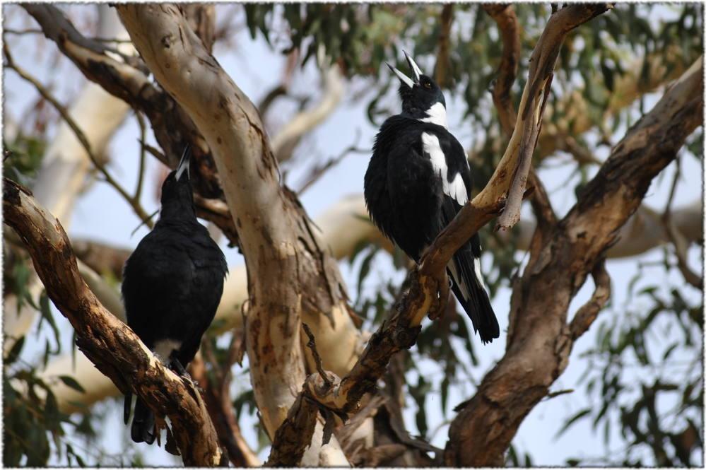 warbling-magpies.JPG