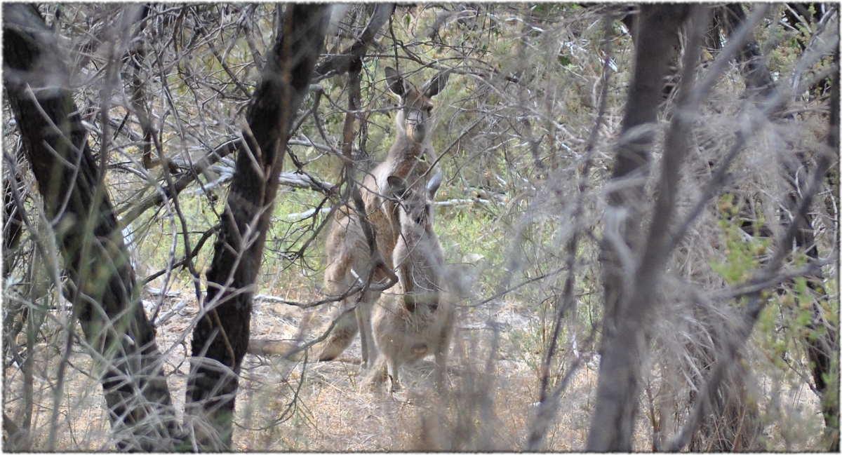 watching_kangaroos